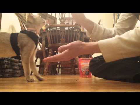 Lily Singapura Kitten - Learns Paw! Instructional Video! (Smallest Cat Breed in the World!)