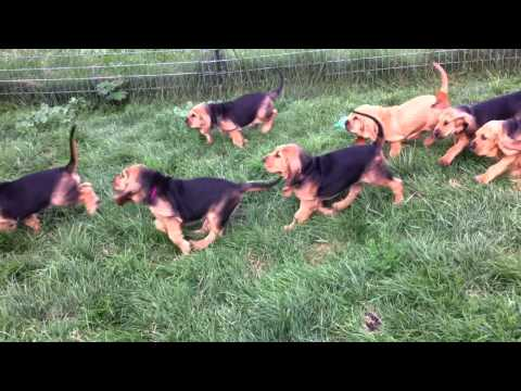 Bloodhound Puppies Chase 7 Weeks Old