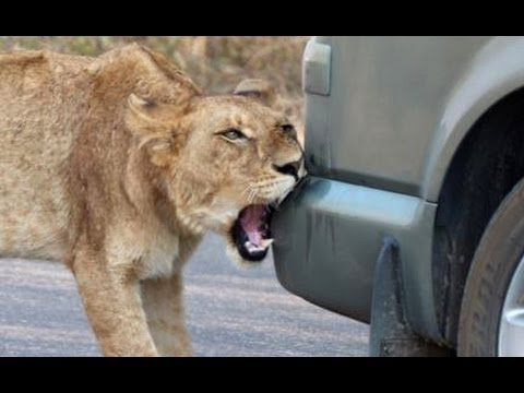 Thumbnail: Lion Versus a Car's Bumper - Latest Wildlife Sightings