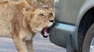 Repeat youtube video Lion Versus a Car's Bumper - Latest Wildlife Sightings