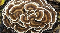 Health Benefits Of Turkey Tail Mushroom