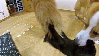Kitten Kuro Plays Goro's Fur Tail. /  フサフサシッポで遊ぶ子猫のクロさん ゴローさん 20150608 Welsh Corgi Cat Dog Kitty