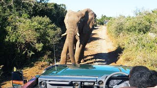 CRAZY ELEPHANTS IN SOUTH AFRICA  (Day 12 of 30 in Cape Town)