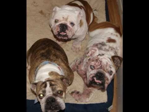 English Bulldog Rescue Stories- Then And Now