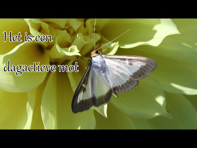 1 minuut natuur: Buxusmot - Box tree moth - la Pyrale du Buis - Buchsbaumzünsler