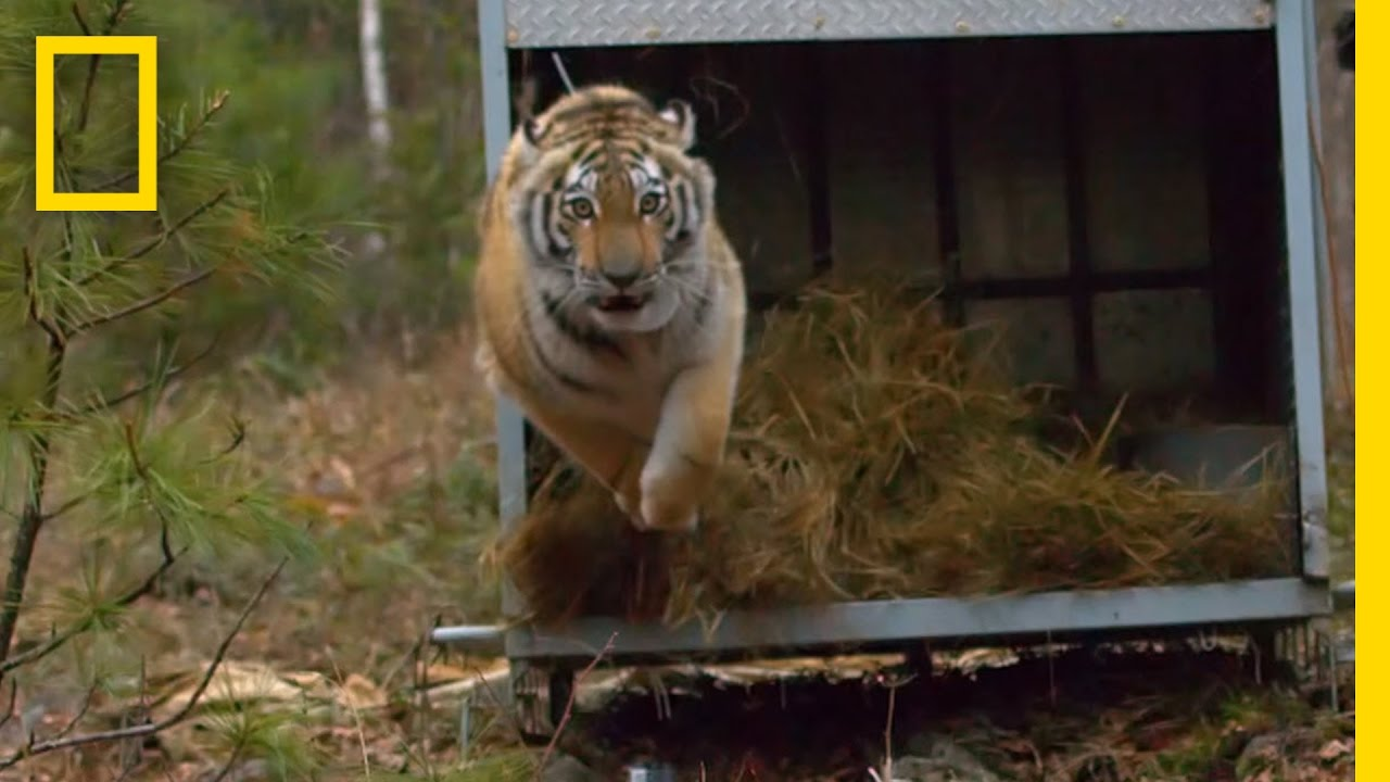 Amazing Slow-Mo: Rare Tiger Released Into Wild | Short Film Showcase