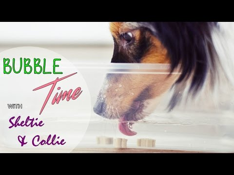 BUBBLE Time with Collie & Sheltie | HD video