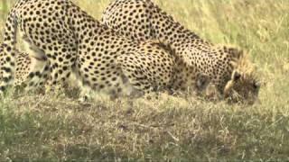 Kenya   Safari al Masai Mara 1°parte