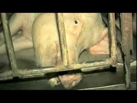 Pregnant Again - Crate Pig Talking - Animals Australia