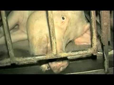 Pregnant Again - Crate Pig Talking - Animals Australia