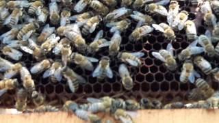 Sokmayan arı.Ana arı farkı arıcı:selami şenel