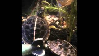 little eastern painted turtles doing mating dance