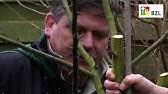 Junge Steinobstbaume Schneiden Erziehungsschnitt Youtube