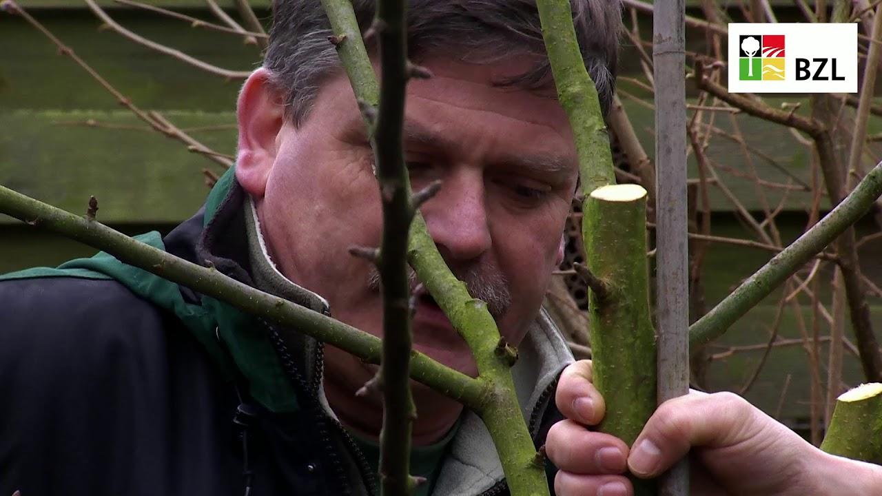 Obstbaume Schneiden Teil 3 Erziehungsschnitt Youtube