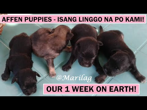 Affenpinscher Spitz at 1 Week Old | Dog Care | Dog Watch