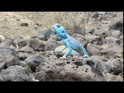 Sinai Agama (Blue Lizard )