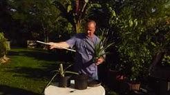 Ananas Schößling topfen