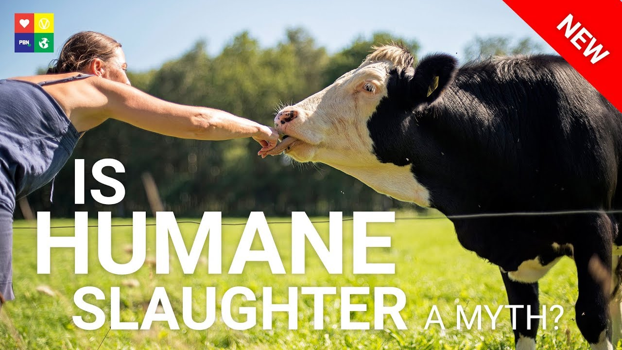 EXPOSING the HUMANE HOAX - Does humane slaughter really exist?