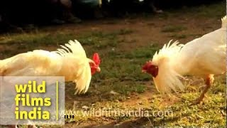 Cock fighting in East Timor!