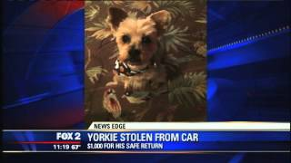Yorkie Dog Stolen Out Of Owner's Car In Dearborn Heights