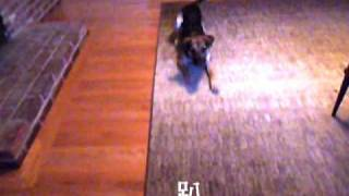 German Shepherd Beagle Mix Tricks
