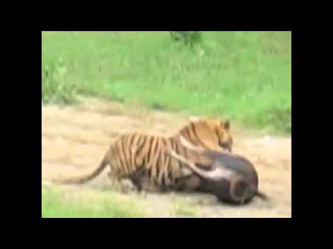 Lion Vs Tiger: Raw Video: Tiger Hunts Cow In Front Of Live Audience