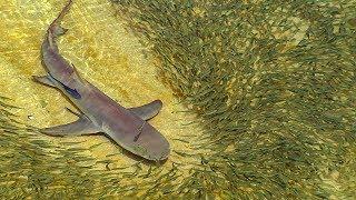 Lemon Sharks Hunt Trevally | BBC Earth