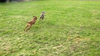 Luca Weimaraner Running Around, Very Fast :-)