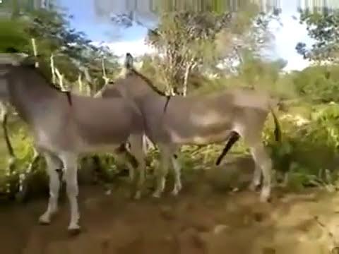 szamár párzás, mint ló párzás letöltés