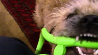 Huckleberry ,border Terrier, Enjoying England V Scotland