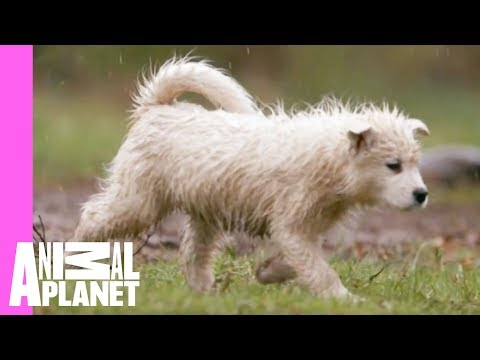 Playtime with Dad Equals Soggy Samoyeds | Too Cute!