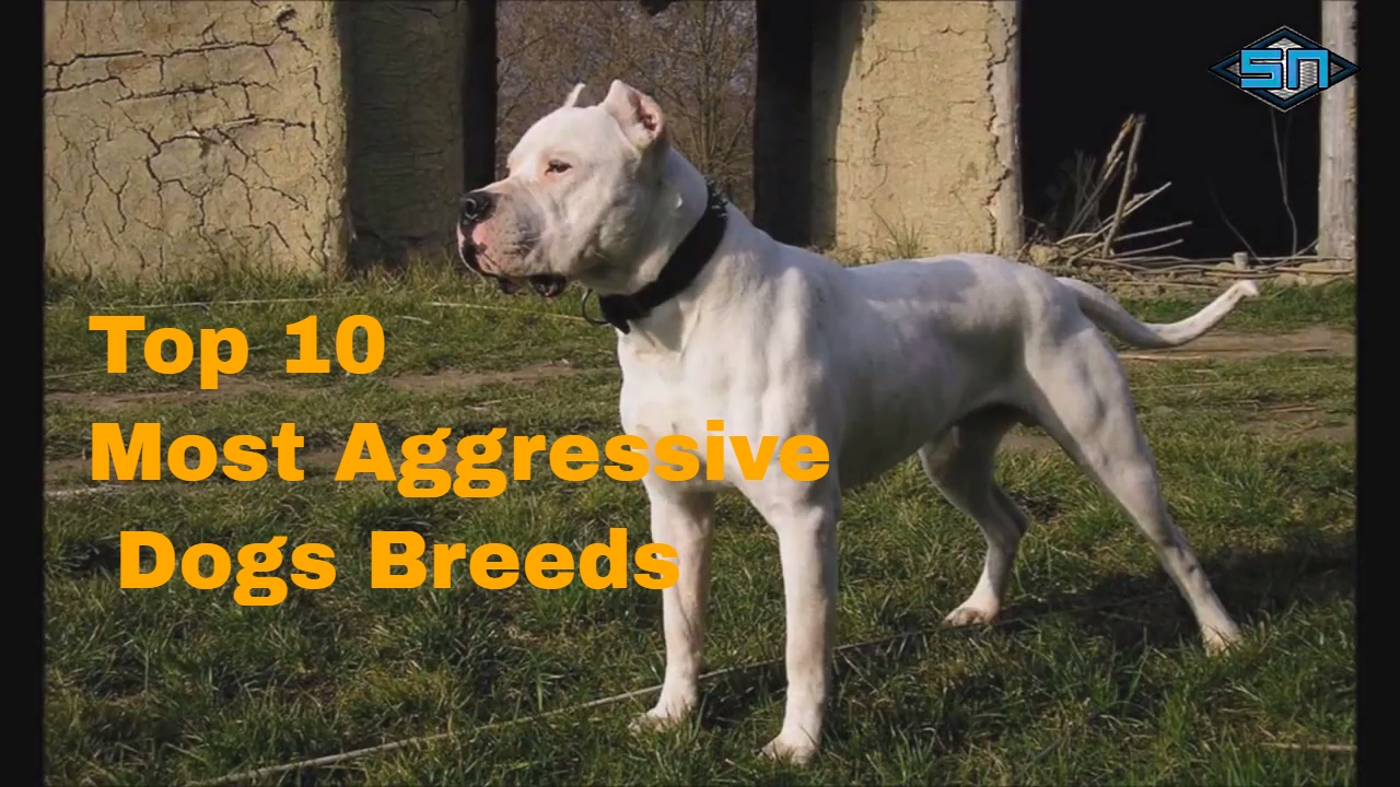 What Are The Top  Most Aggressive Dog Breeds