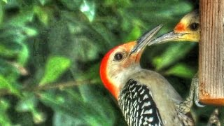 Red Bellied Woodpecker Pecking In Nest Box