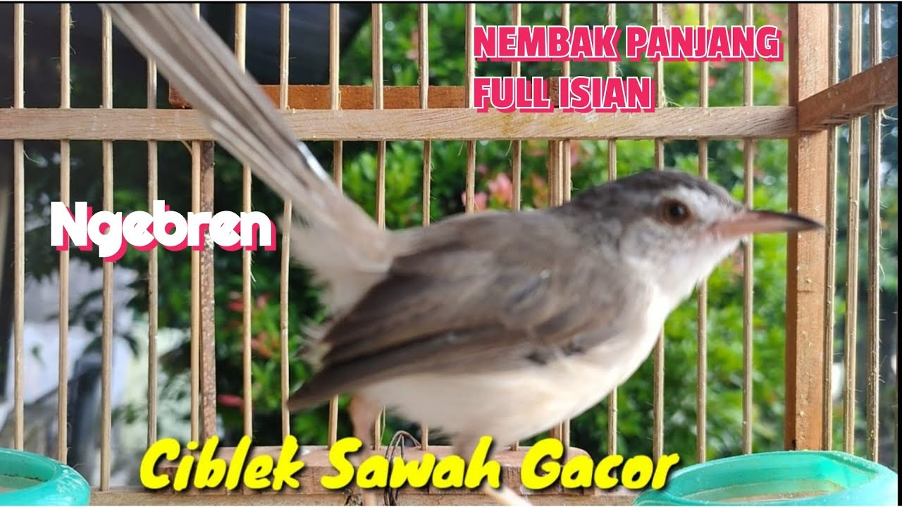 Suara Burung Ciblek Sawah Gacor Ngebren Nembak Full Isian Youtube