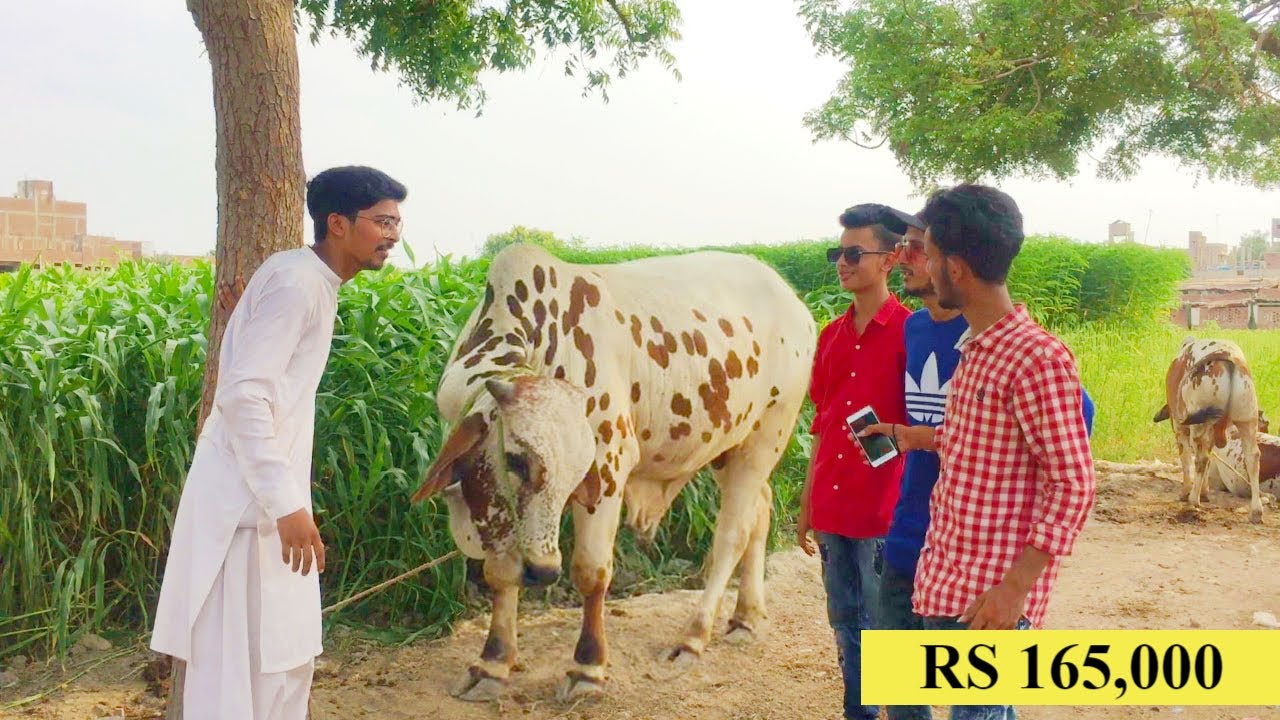 BAKRA VS COW ONLINE ORDER EID UL ADHA VIDEO | PART 2 | HYDERABAD VINES