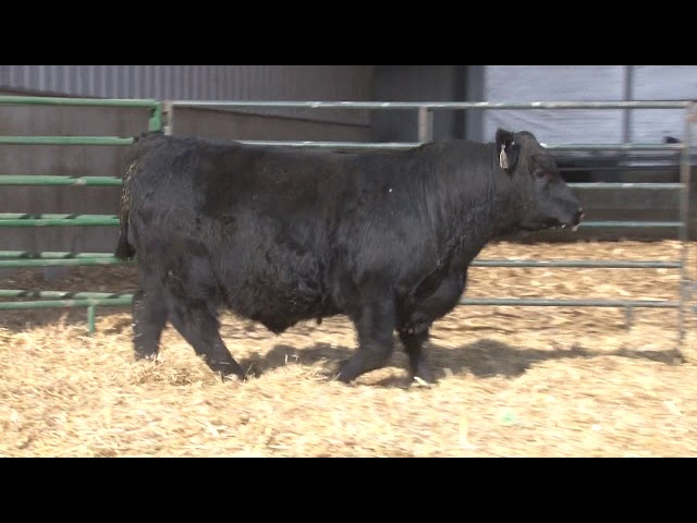 Schiefelbein Angus Farms Lot 101