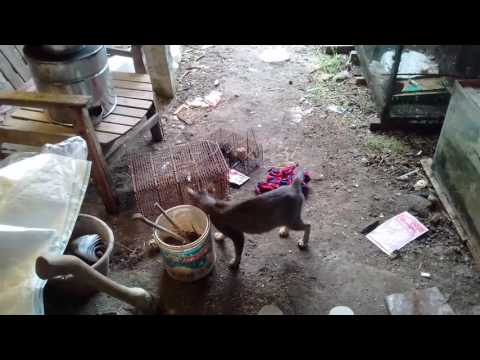 Kecepatan kucing menangkap tikus luar biasa