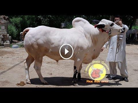 2 New Big Bulls Of Malik Awan Cattle Talagang || MASHALAH || 2019 Collection