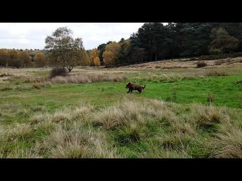 Sussex Spaniel Relay