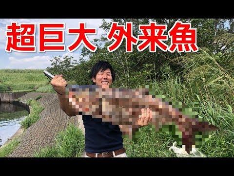 【巨大外来魚】温排水の川で投網を投げた結果がヤバ過ぎた!