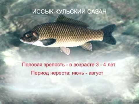 нерест толстолобика в краснодарском крае