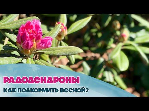 Рододендроны. Как правильно подкормить и ухаживать за ними