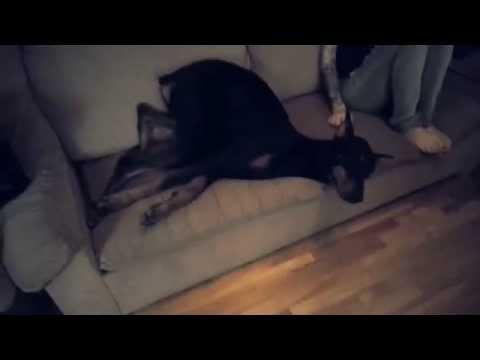 Funniest Doberman dog fail