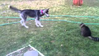 Siberian Husky And Cat Fight For Mouse
