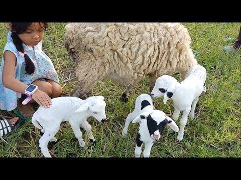akifa-feed-the-sheep