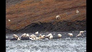 Остров Врангеля. Массовое пиршество белых медведей озадачило учёных