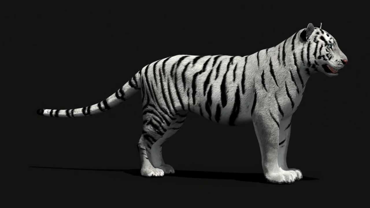 Tiger 3d Model White