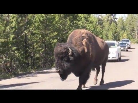 Drunken BISON stumbling down Yellowstone road - VAN DWELLER Road Trip vLog
