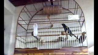Rouxinol do Rio Negro - Negão cantando