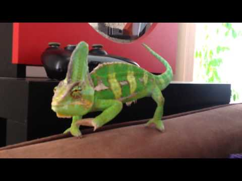 The Routine Of A Chameleon